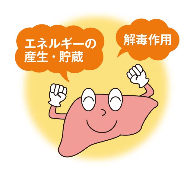 二日酔いに関わる肝臓の主な働き-エネルギーの産生・貯蔵、解毒作用